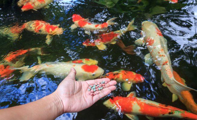 thức ăn cho cá koi Đà Nẵng